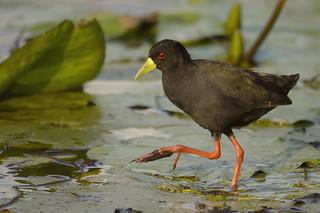 Black Crake - Amaurornis flavirostra