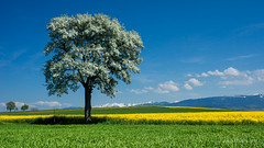 Printemps  Lovens (Switzerland) (christian.rey) Tags: tree landscape schweiz switzerland suisse sony champs fribourg alpha paysage 77 arbre printemps colza 1650 lovens
