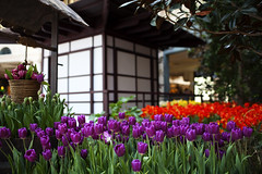 A Japanese-Inspired Tulip Display at The Bellagio (Xiao-Bu) Tags: garden japanese spring lasvegas conservatory bellagio ef35mmf14lusm canon5dmarkii