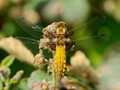 Broad-bodied Chaser (Aves Lux) Tags: chaser broadbodied