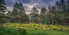 Knock Woods (Osgoldcross Photography) Tags: wood trees summer sky plants fauna clouds woodland scotland cool flora nikon raw alba north wideangle isleofmull grasses mull shrubs pinetrees caledonia knock ecosse sigma1020mm scotspine caledonianforest nikond7100