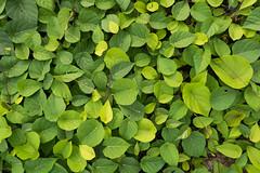 Wall of green (quinet) Tags: texture sarawak malaysia borneo grn kuching greenvert 2015 textur