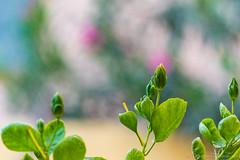 I am here  (Kumaravel) Tags: green nature closeup garden leaf nikon dof bokeh crop bud hibiscusrosasinensis chennai kumar kumaravel d3100