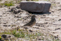 Meadow Pipit (Graham Howarth) Tags: forest walk meadow reservoir lancashire stocks circular gisburn bowland pipit