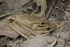 Polypedates leucomystax_MG_0835 copy (Kurt (OrionHerpAdventure.com)) Tags: amphibian frog amphibia tropicalfrogs polypedatesleucomystax fourlinedtreefrog frogsofmalaysia aamplexus