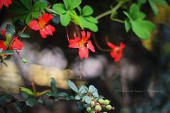 The red flowers (|| Rehnumah Insan ||) Tags: red summer england flower nature gardens happy photography prime spring dof durham bokeh depthoffield click dslr botanicgardens 50mm18 primelens canon600d
