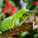 Hummingbird Clearwing Moth Caterpillar