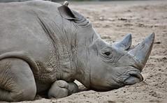 rhino (Hugo von Schreck) Tags: animal rhino tier nashorn yourbestoftoday tamronsp150600mmf563divcusda011 canoneos5dsr hugovonschreck