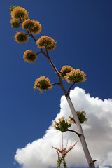 Agave Flowers in the Sky (jswensen2012) Tags: flowers arizona clouds desert agave sonorandesert ocotillo centuryplant organpipecactusnationalmonument desertagave
