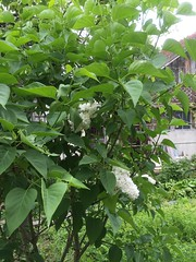 Lilas (delphinecingal) Tags: white garden jardin lilac blanc lilas