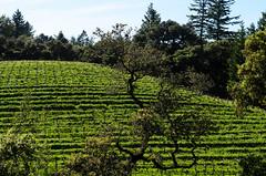 Thomas Fogarty vineyard (dalecruse) Tags: california green us vineyard unitedstates wine winery vineyards grapes grape wines lightroom thomasfogarty fogartyvineyards thomasfogartyvineyards
