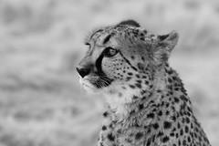 Watching for breakfast (Emma Pollock - Photos) Tags: cats leopard namibia bigcats blackandwhitesafari