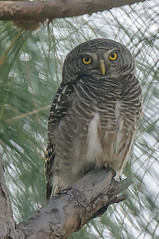 Asian Barred Owlet (kishorebhargava) Tags: birds asian barred owlet birdsofindia uttarakhand sattal birdsofuttrakhand