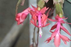 Crab Claw in garden (jimbooliver) Tags: pink flower garden brisbane apricot crabclaw