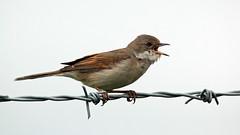 Whitethroat (NickWakeling) Tags: nature birds wildlife norfolk norwich barbedwire whitethroat canon60d norwichairport norwichinternationalairport sigma150600mmf563dgoshsmcontemporary