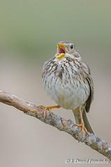 La serenata (Dani (Atrus)) Tags: espaa naturaleza birds fauna spain aves cornbunting miliariacalandra escribanotriguero jdanielfernndez elrincndelosprotegidos