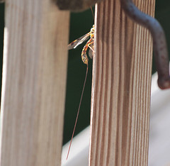 "Long ""Tail"" (blazer8696) Tags: 2016 brookfield ct connecticut ecw obtusehill t2016 usa unitedstates bug img8575 insect giant ichneumon wasp female"