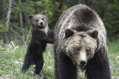 grizzly cub using mom for protection (Steve Courson) Tags: grizzlybear cub standing stevecourson yellowstonenationalpark family