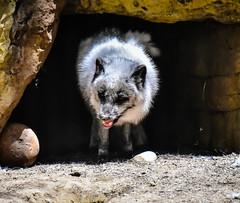 Arctic Fox at San Diego Zoo - San Diego CA (mbell1975) Tags: california park ca usa animal america zoo us san unitedstates sandiego diego calif arctic cal american fox parc