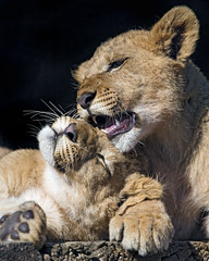 Two siblings cuddling II (Tambako the Jaguar) Tags: two together siblings male female lying resting platform portrai cub young lion big wild cat african plttli zoo frauenfeld switzerland nikon d5