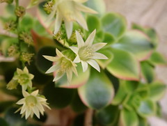 Aeonium flower (msek) Tags: flower aeonium