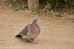 Houtduif - Common Wood Pigeon - Columba palumbus (desire van meulder) Tags: birds pigeon vogels doves duiven duif commonwoodpigeon houtduif