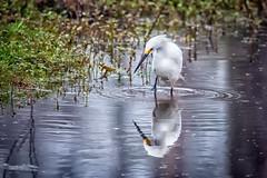BonnieMarquette-4AC-EgretReflections (Bonnie Marquette) Tags: heron water duck moss louisiana atchafalaya eagle south alligator southern bayou swamp bonnie egret marquette osprey