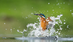 Diving Kingfisher (Alastair Marsh Photography) Tags: feathers feather britishanimal britishanimals animals animal britishbird britishbirds fishing fish splashing splash stream river water britishwildlife wildlife birds bird divingkingfishers divingkingfisher kingfishers kingfisher