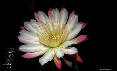 ER 160624 (48) (Paolo Bonassin) Tags: flowers cactus cactaceae cereus succulente cereusperuvianus cactacee