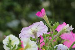 Pastel shades (abrideu) Tags: abrideu canoneos100d flowers flower depthoffield macro pastelcolours onmybalcony outdoor petunia plant bokeh ngc npc