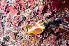 Shell (ShaunMYeo) Tags: espaa fish spain espanha scubadiving espagne spanien spagna tarifa spanje spnn spania underwaterphotography  espanya  hispania hiszpania ispanija espanja ispanya spanyolorszg panlsko ikelite hispaania underwaterphotographer spanyol  hispanio    spanja ispaniya sepanyol  panija panielsko  espainiako     spinn  espay  spnija  spanj