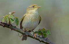 JWL6585  Willow Warbler.. (jefflack Wildlife&Nature) Tags: willowwarbler wildlife wildbirds woodlands warbler warblers birds avian songbirds hedgerows countryside farmland nature ngc npc