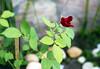 Fifth Day (sampaio) Tags: rosas flôres
