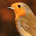 DSCF6339 Robin