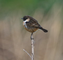 _MG_1817 Stonechat (sam.creighton) Tags: bird chats stonechat ousewashes rspb saxicolatorquatus canon 7d eos slr ef400mm f56l