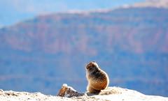 Squirol on the Clif (Marc Cusco) Tags: usa animal colorado grandcanyon nevada paisaje vistas roca acantilado ardilla can precipicio clif 2011 borde esquirol admiracin grancan squirol