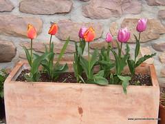 Tulipanak.