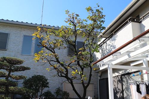 庭の柿の木
