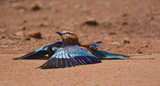 Lilac Breasted Roller Pilansberg 14 November 2014 DSC_3442 tagged
