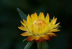 Strawflower (Liisamaria) Tags: ngc npc awesomeblossom perfectpetals flickrsfantasticflowers saariysqualitypictures flowersorinsects flowersonflickr naturescarousel