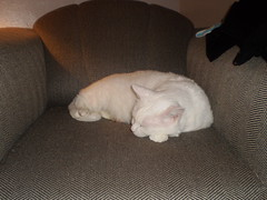 Mystic (universalcatfanatic) Tags: sleeping cats white cat grey living chair sleep room gray mystic lay laying