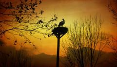 IMG_1313 sunset stork (pinktigger) Tags: italy bird nature italia stork cegonha cigea friuli storch cigogne ooievaar fagagna cicogna oasideiquadris feagne