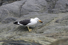 Kelp Gull with limpet (Baractus) Tags: elephant john point island islands gull south antarctica le kelp cape peninsula shetland oates antarctic boreal inthewakeofshackleton