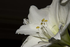 Amaryllis (Kitty Terwolbeck) Tags: white plant flower macro closeup blackbackground mourning rip stamens st