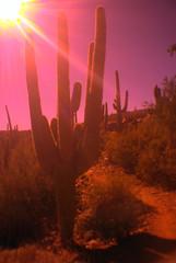 Black Canyon Trail (K e v i n) Tags: arizona cactus sun nature sunshine outside outdoors desert az sonorandesert saguaros wideanglelens orangefilter blackcanyontrail lomographyexperimentallenskit