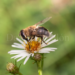 Bee eating (David Cucaln) Tags: naturaleza flower macro nature animal 35mm insect flor olympus girona bee squareformat abeja insecto formato 2014 sils cuadrado e510 cucalon davidcucalon