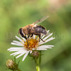Bee eating (David Cucalón) Tags: naturaleza flower macro nature animal 35mm insect flor olympus girona bee squareformat abeja insecto formato 2014 sils cuadrado e510 cucalon davidcucalon