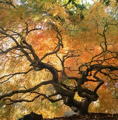 Japanese Maple (Aaron Bieleck) Tags: tree fall 6x6 film oregon analog square portland nw 120film foliage japanesemaple pacificnorthwest provia fujiprovia100f hasselblad500cm 60mmct
