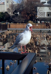 (proclamation) (Dinasty_Oomae) Tags: tokyo ueno seagull  konica  taitoku  sinobazunoike      konical i