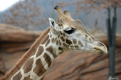 Giraffe (ray2pixel) Tags: nikon korea safari giraffe themepark everland 2014 d610
